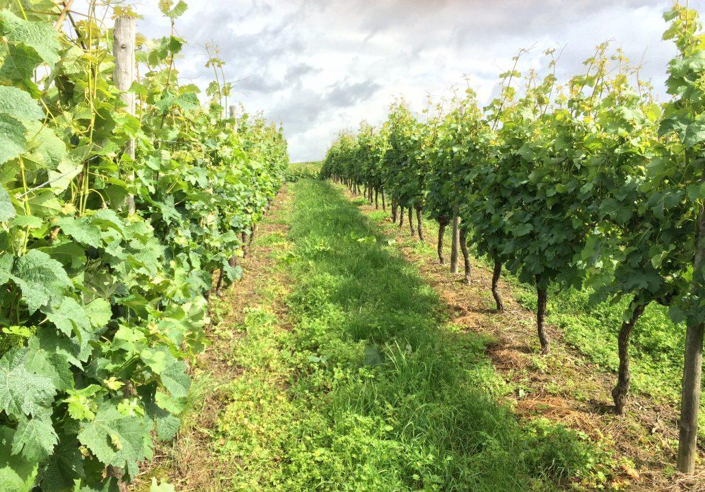 Weinberg Reihe - Weingut Bugner Klein-Winternheim